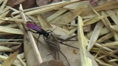 Spider Wasp and spider, Cambodia Stock Footage