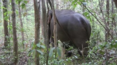 Elephant, Cambodia Stock Footage