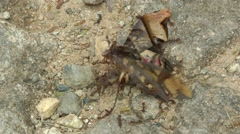 Ants attack Sphinx Moth Stock Footage