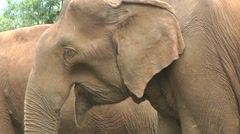 Asian Elephant Rehabilitation - stock footage