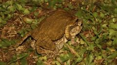 Sunda Toads in Amplexus Stock Footage