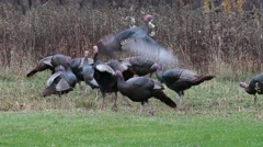 Wild Turkeys Stock Footage