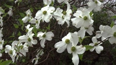 Dogwood in Spring Rain and Sleet Stock Footage