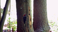 Pileated Woodpecker, Dryocopus pileatus Stock Footage