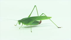 Fork-tailed Bush Katydid Stock Footage