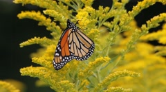 Monarch Butterfly Pollinates Goldenrod Stock Footage