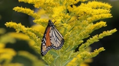 Insects Pollinate Goldenrod Stock Footage