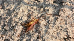Fire Ants eating grasshopper Stock Footage