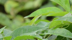 Carolina Anole looking around Stock Footage