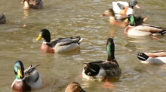 Mallards swimming and feeding - stock footage