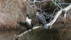 Double-Crested Cormorants Stock Footage