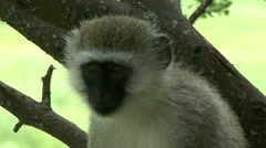 Vervet monkey in the Ngorongoro Conservation Area Stock Footage