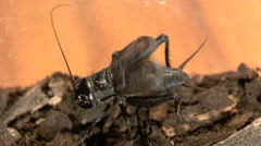 Chirping Gryllus field cricket Stock Footage