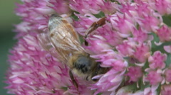 Honeybee on a sedum flower in autumn Stock Footage