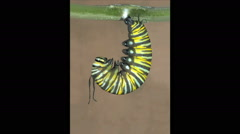 Butterfly caterpillar metamorphosis sequence Stock Footage