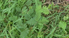 Sensitive plant whose leaves fold and droop when touched Stock Footage
