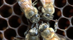 Honey bees sharing food, a behavior called trophallaxis Stock Footage