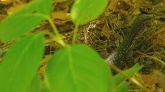 Varanus salvator macromaculatus Stock Footage