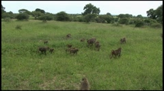 Baboons foraging in Ngorongoro Conservation Area Stock Footage