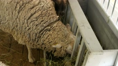 4k, beautiful white sheep in a stall on the farm 5 Stock Footage