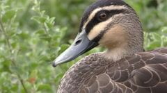 Closeup of Bill Eyes Face of Australia Pacific Black Duck in 4K Stock Footage