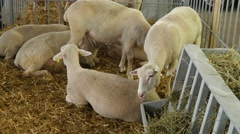 4k, beautiful white sheep in a stall on the farm 3 Stock Footage
