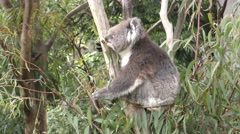 Koala Feeding on Leaves in Eucalyptus Tree in Australia Stock Footage