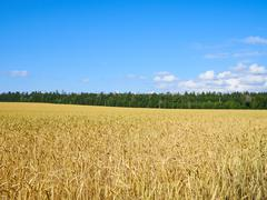 A wheat field, fresh crop of on a sunny day. Rural Landscape - stock photo