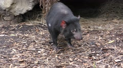 Tasmanian Devil Looking Around and Walking in Forest Stock Footage