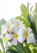 Close up Lan thom flower Stock Photos