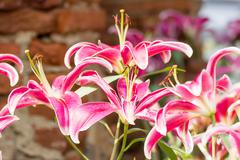 Close up of pink lily flower - stock photo