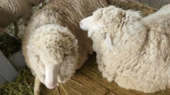 4k, beautiful white sheep in a stall on the farm 2 Stock Footage
