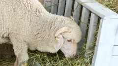 4k, white sheep eating hay on the farm 1 Stock Footage