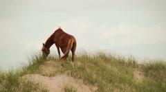 beautiful sorrel wild mare grazing on dunes - stock footage
