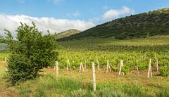 Beautiful green vineyards on fields in mountains of Crimea - stock photo