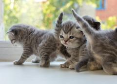 Beautiful small striped kittens on window sill. Scottish Fold breed - stock photo