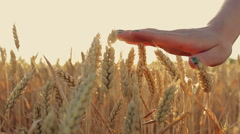 Hands woman girl touching wheat ears at sunset. - stock footage