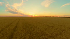 Field with wheat at sunset Stock Footage