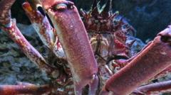 Spider crab walking Stock Footage