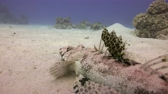 Crocodile fish Diving in the Red sea near Egypt. Stock Footage