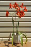 Many scarlet Hippeastrum (Amaryllis) flowers are in bright sunlight. - stock photo