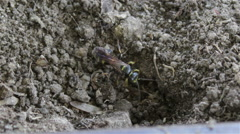 Wasp digging in the ground Stock Footage