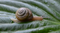 Snail on the big green leaf Stock Footage