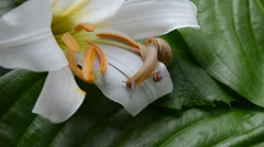 Snail on Lily Stock Footage