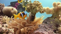 Underwater videographer, filming the symbiosis of clown fish and anemones. Stock Footage