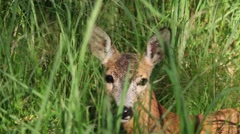Portrait of wild roe deer lying in the grass Stock Footage