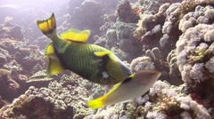 Trigger fish over colorful coral reef and Elphinstone. Stock Footage