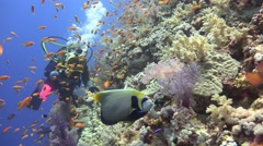 Underwater videographer, shooting Imperial angel fish. Stock Footage