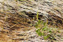 Bent grass in the swamp Stock Photos