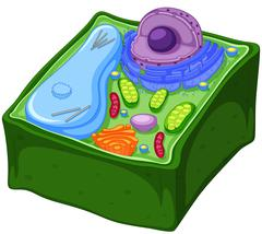 Plant cell in three dimensions Stock Illustration
